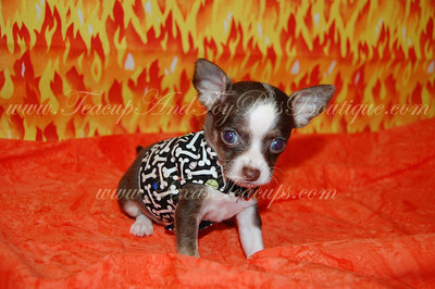 PUPPY NUMBER # 2603 My New Owners Name: Linda Limas Puppy's Name: Buster Brown Date Sold : October 2012 FROM:Livingston, TX BREED: Chihuahua SEX: Male COLOR: Chocolate / White DATE OF BIRTH: 6/8/2012 Pet Boutique Sales Representative: Tracea  Customer Comments:  If you purchase a puppy in this photo gallery and would like for us to add your puppy's name and comments to the puppy you have purchased.  Send an e-mail with your full name, puppy's name and puppy number to us along with any comments you would like to add to your puppies photo. You may also send photos of your family members with or without puppy and we will add it to your puppy's photo gallery.   ==== ( TeacupPets@TexasTeacups.com ) ====  This Photo is copyright protected by: http://www.TexasTeacups.com