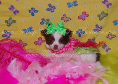 2012 Chihuahuas Adopted