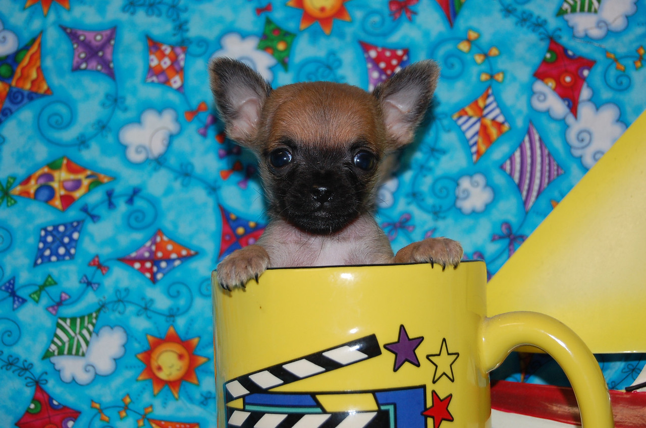 Teacup Chihuahua Puppies For Sale In Canton Tx - PowerDNSSEC