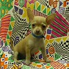 SOLD TO: JESSICA PRAH <br /> Puppy # CHI-TOY-675 <br />  TOY MALE CHIHUAHUA