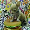 Chihuahuas Sold In 2004 : 3 galleries with 24 photos