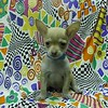 SOLD TO: JESSICA PRAH # CHI-TOY-675<br />  TOY MALE CHIHUAHUA.