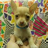 SOLD TO: JESSICA PRAH  ( # CHI-TOY-675 ) <br />  TOY MALE CHIHUAHUA.