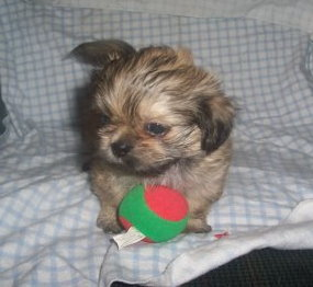 X Sold to  previous customer Luisa W. of MI  by Shelley   PUPPY NUMBER ( # Peek A Poo FEB -61- 2006 )<br /> Breed: Peek A Poo<br /> SIZE: Toy<br /> SEX: Female<br /> PRICE: $1,475.00<br /> This price includes shipping thru Continental Airlines.