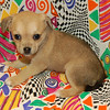 X on Sold to RYAN FISHER PRICE REDUCTION!!!!Puppy Number  ( CHI-58-2006 )<br /> Breed: Chihuahua<br /> Sex: Female<br /> X on hold for shipping to Ryan Fisher PUPPY NUMBER ( # CHI-TER-58 )<br /> BREED:   Chihuahua  Terrier Mix<br /> SEX: Female<br /> PRICE: $675.00<br /> Sweet and loving personality. Very quiet little girl. Playful but sweet and kind.