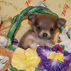 Puppy Number  CHI 117 <br /> Sold to priority customer Shay H.<br />  Date Sold: April 2006<br /> Breed:  Long coat Chihuahua<br /> Sex: Female <br /> DOB: 2-21-06<br /> Size: Tiny Teacup<br /> Price: $2875.00<br /> Personality: Sweet, quiet but with little bit of a silly side.<br /> <br /> Click the ( BUY THIS PHOTO ) icon under photo to purchase this puppy picture.<br /> Photos are available in wallets, 8 X 10, 5 x 7, on key chains, mouse pads, back packs, coffee mugs and T-Shirts and more.<br /> This Photo is copy right protected by:<br /> Teacup And Toy Pets