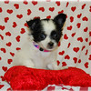 PUPPY NUMBER # LC CHI 801<br /> Sold to:Edrina H<br /> Date Sold: Feb. 2008<br /> From: Irving, TX<br /> BREED: Long Coat Chihuahua<br /> SEX:  Female<br /> SIZE:Teacup<br /> D.O.B:12-11-2007<br /> COLOR:Black and White<br /> COAT TYPE: Long Coat<br /> Starting Price was:$1675.00<br /> Final Price Paid: $1475.00<br /> Customer Comments: Her name is Zoey and she is full of personality.<br /> Sales Representative: Jan