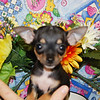 """PUPPY NUMBER # 2010<br /> Owners Name: Kenneth S.<br /> Puppy's Name: Coco<br /> Date : 7/20/09<br /> <br /> Sold to Waiting List Customer: Kenneth S.<br /> FROM: Grapevine, TX<br /> <br /> BREED: Chihuahua<br /> SEX: Female<br /> COLOR: Tri-color<br /> DATE OF BIRTH: 5/8/09<br /> SIZE: Teacup<br /> COAT TYPE: Short<br /> <br /> Pet Boutique sales representative: Candace<br /> <br /> If you purchase a puppy in this photo gallery and would like for us to add your puppy's name and comments to the puppy you have purchased. <br /> Send an e-mail with your full name, puppy's name and puppy number to us along with any comments you would like to add to your puppies photo.<br /> You may also send photos of your family members with or without puppy and we will add it to your puppy's photo gallery. ==== ( TeacupPets@TexasTeacups.com ) ====<br /> <br /> Click the ( BUY or BUY THIS PHOTO ) icon to purchase this photo. <br /> Photos start at 39 cents and are available in Wallets, 8 X 10, 5 x 7, Key Chains, Luggage Tags that can be used on pet crate or carrier when traveling, Mouse Pads, Back Packs, Coffee Mugs, T-Shirts Calendars and more. <br /> Photos in this gallery may be deleted at anytime as we make room for new puppy pictures. <br /> Vote for this puppy by giving it thumbs up if you like his/her picture.<br /> <br /> This Photo is copyright protected by: <a href=""""http://www.TexasTeacups.com"""">http://www.TexasTeacups.com</a>"""