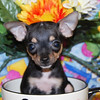 """Puppy Number # 2010<br /> <br /> Pet Purchase Information >  <a href=""""http://www.texasteacups.com/Pet_Purchase_Information.html"""">http://www.texasteacups.com/Pet_Purchase_Information.html</a> )<br /> <br /> Please make note of the puppy number it will be required on your application form and e-mails to us.<br /> <br /> Go back to puppies for sale photo gallery.<br /> Click Here > <a href=""""http://www.texasteacups.com/Puppies_For_Sale_HighSPD.html"""">http://www.texasteacups.com/Puppies_For_Sale_HighSPD.html</a> )<br /> <br /> Available hours and map of our location can be found in """" Our Contact Information """"<br /> Click Here >  <a href=""""http://www.texasteacups.com/Our_Contact_Information.html"""">http://www.texasteacups.com/Our_Contact_Information.html</a> )<br /> <br />  <a href=""""http://www.TexasTeacups.com"""">http://www.TexasTeacups.com</a> <a href=""""http://www.TeacupAndToyPetsBoutique.com"""">http://www.TeacupAndToyPetsBoutique.com</a>"""