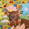 Puppy Number # CHI 2012 Chocolate Chihuahua Puppy