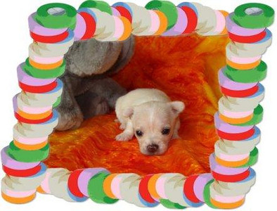 2010 Chihuahuas Sold