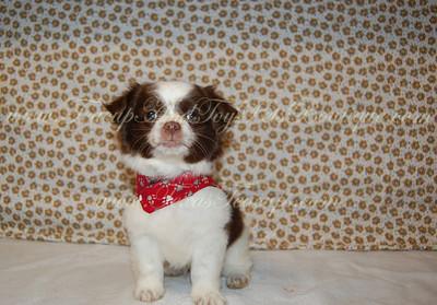 2013 Chihuahuas Sold
