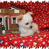 Puppy Number # CHI Long Coat 695