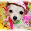Puppy Number  (  # CHI Long Coat 695 )