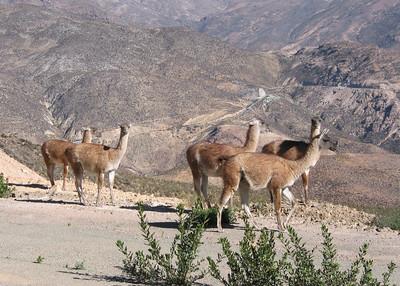 GUANACOS - ATACAMA DESERT