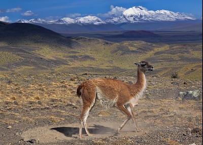 GUANACO - NORTHERN CHILE