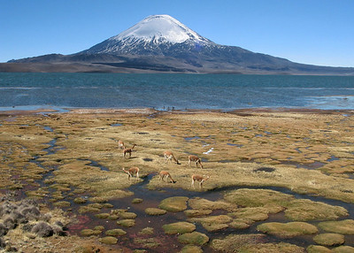 VOLCAN PARINACOTA WITH VICUNAS - LAUCA NATIONAL PARK
