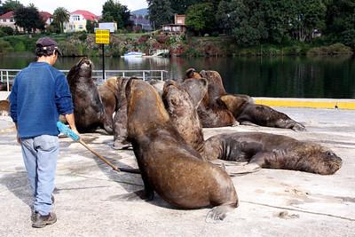 SOUTHERN SEA LIONS - VALDIVIA
