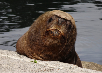 SOUTHERN SEA LION - VALDIVIA