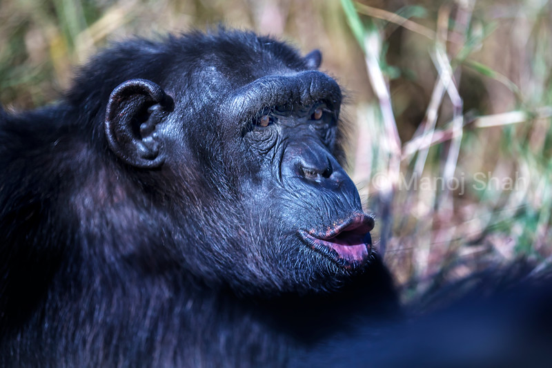 Chimpanzee female shows signs of happiness.