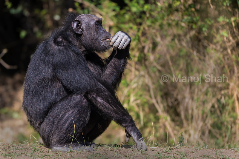 Male chimpanzee in deep thought