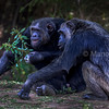 Chimpanzees playing with leafy stems