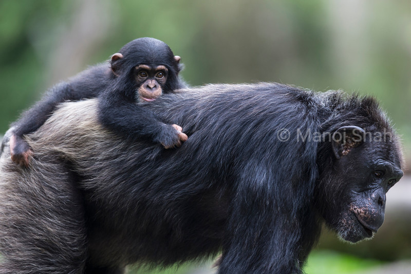 Baby Chipanzee riding on mother's back