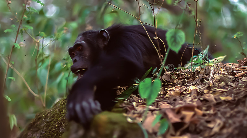 Chimpanzee looking for ants to eat in Gombe National Park.