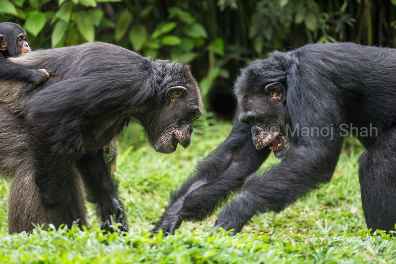 Adult chimpanzees play fighting