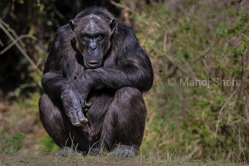 Male chimp thinking