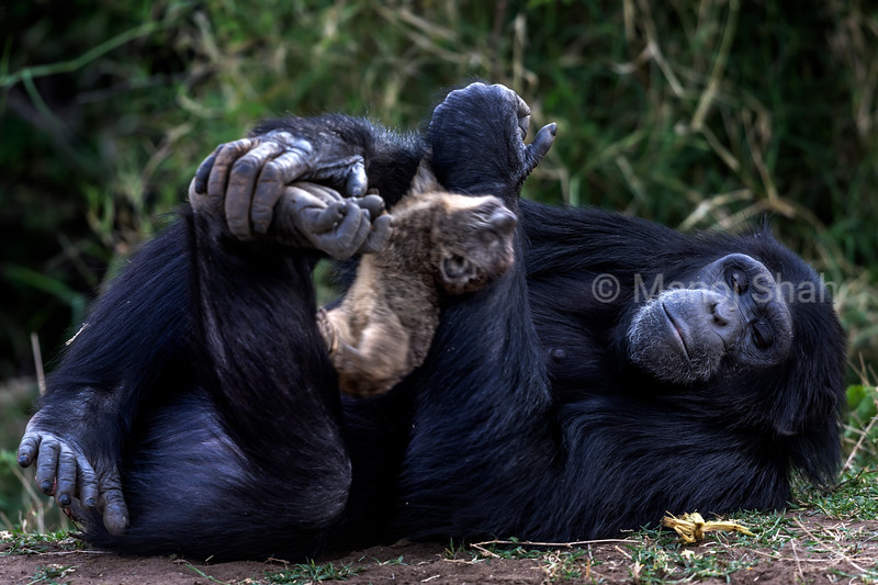 Chimpanzee holding onto a Rock Hyrax kill