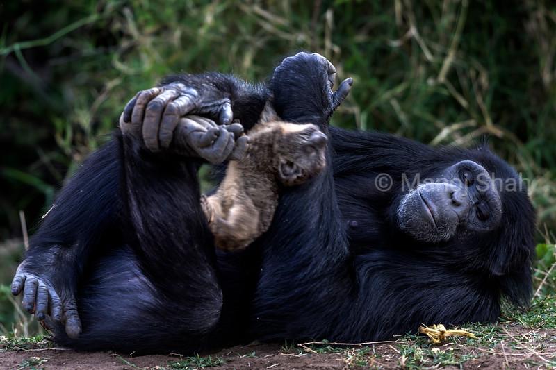 Chimpanzee holding onto a Rock Hyrax kill