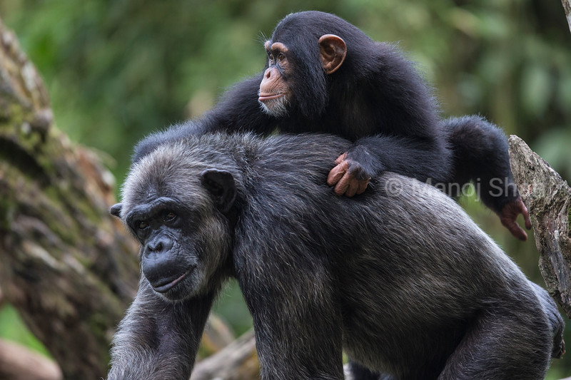 Male Chimpanzee youngster riding on mother's back