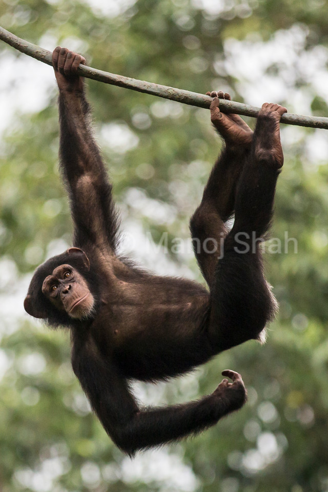 Chimpanzee youngster playing