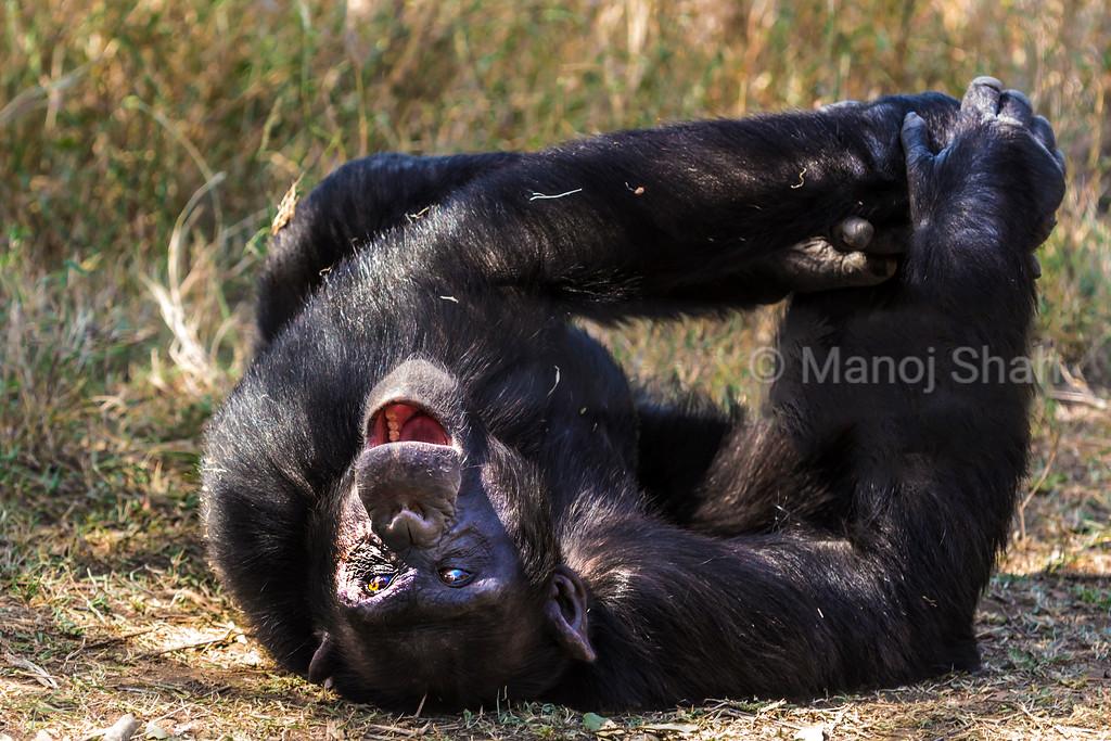 Chimpanzee viewing surroundings lying down and yawning.