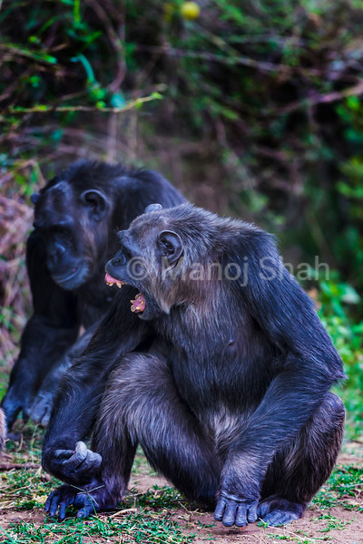 Alpha male chimpanzee in an agressive mood