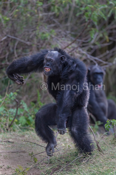 Alpha Chimpanzee male dances in victory after scaring away the chimps from the other clan.