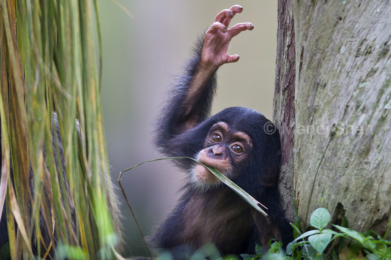 Chimpanzee baby.