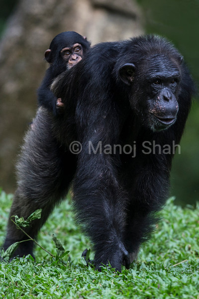 Male Chimpanzee baby riding on mother's back