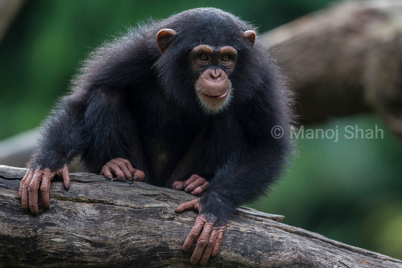 Male Chipanzee Baby