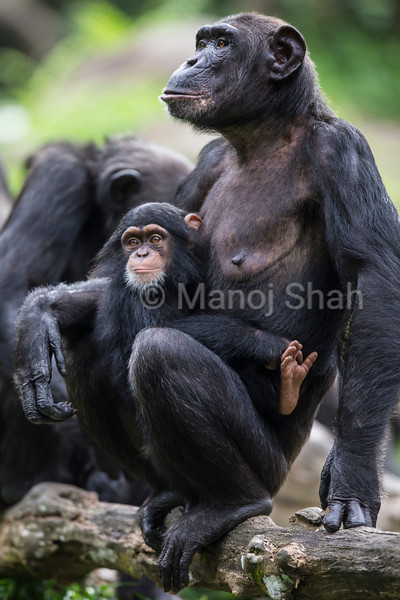 Male Chipanzee youngster with mother
