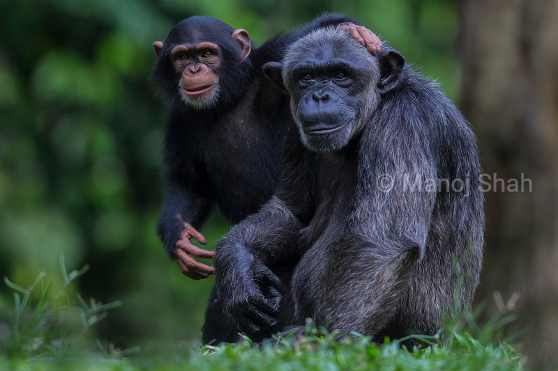 Chimpanzee youngster with adult