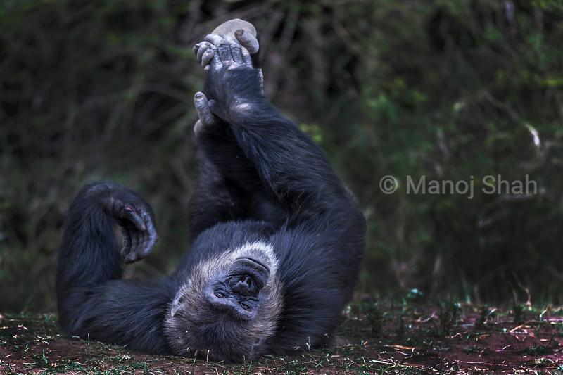 Male Chimpanzee viewing upside down
