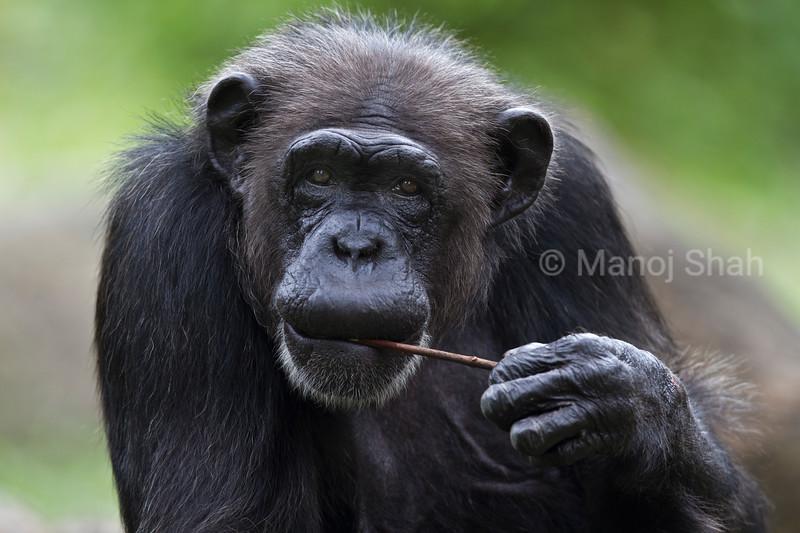 Chimpanzee carrying a twig.