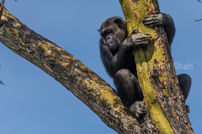 Chimpanzee - climbing tree
