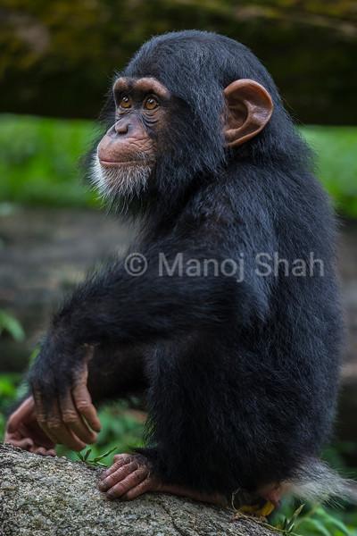 Male Chmipanzee Baby