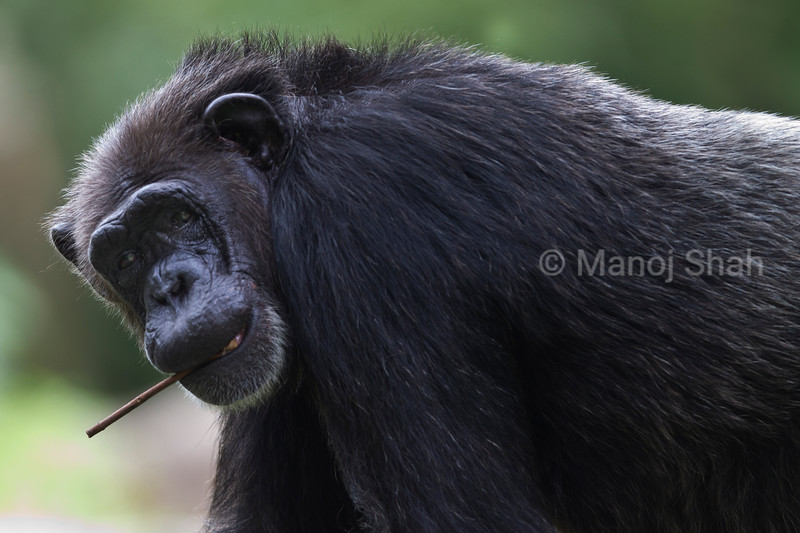 An adult chimp carrying a twig in its mouth.