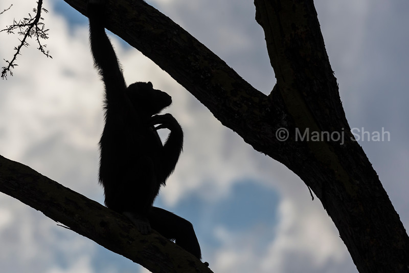 Chimpanzee scratching its neck on a tree