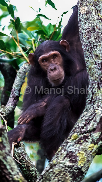 Chimpanzee on a tree in Gombe forest.