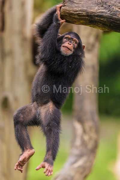 Chimpanzee youngster playing with a log